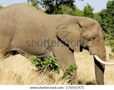 Kruger park South Africa: African elephants are the elephants of the genus Loxodonta, consisting of two extant species: the African bush elephant and the smaller African forest elephant. - stock photo