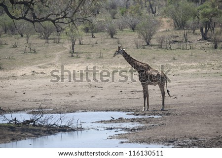 Kruger trip October, Giraffe in the Kruger National Park South Africa - stock photo