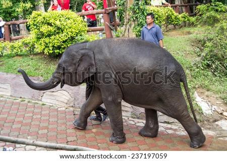 KUALA GANDAH, MALAYSIA - JANUARY 2, 2014: An walking young elephant in Kuala Gandah Elephant Conservation Centre - stock photo