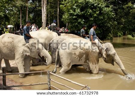 KUALA GANDAH, MALAYSIA - SEPTEMBER 25 : Staff of Kuala Gandah Elephant Orphanage Sanctuary taking the elephants for bath during Elephant Awareness Program September 25 2010 in Kuala Gandah, Malaysia. - stock photo