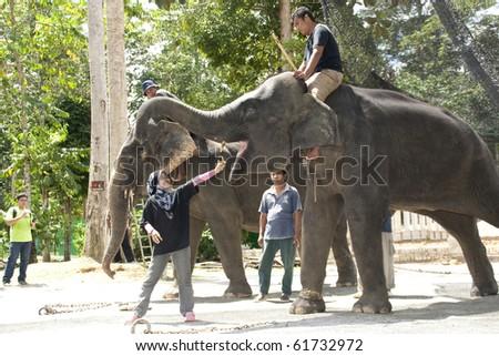 KUALA GANDAH, MALAYSIA - SEPTEMBER 25 : Trainer of Elephant Orphanage Sanctuary demostrate how feed an elephant during the Elephant Awareness Program September 25 2010 in Kuala Gandah, Malaysia. - stock photo