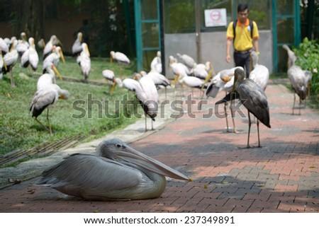 Kuala Lumpur, Malaysia - November 2, 2014: Storks and pelican in Kuala Lumpur Bird Park - stock photo