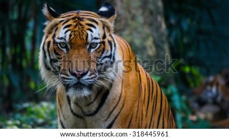 KUALA LUMPUR, MALAYSIA - 1ST JULY 2012; Malayan Tigers in National Zoo or local calls as Zoo Negara. Zoo Negara  is the premier zoo in Malaysia, located at Ulu Klang, Southern part of Kuala Lumpur. - stock photo