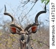 kudu antelope in Kruger national park,South Africa - stock photo