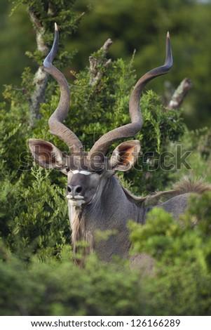 Kudu antelope male close-up, South Africa - stock photo