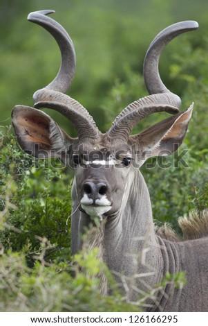 Kudu antelope male, South Africa - stock photo