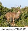 Kudu Antelope (Tragelaphus strepsiceros) - stock photo