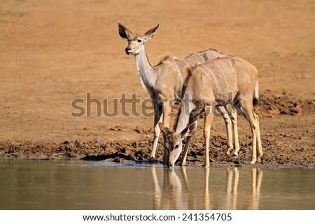 Kudu antelopes (Tragelaphus strepsiceros) drinking water, Pilanesberg National Park, South Africa  - stock photo