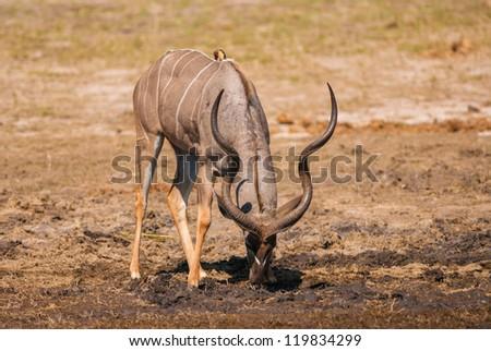 Kudu bull grazing and drinking, Chobe National Park - stock photo
