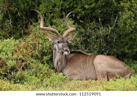 Kudu bull resting in the bush and looking. - stock photo