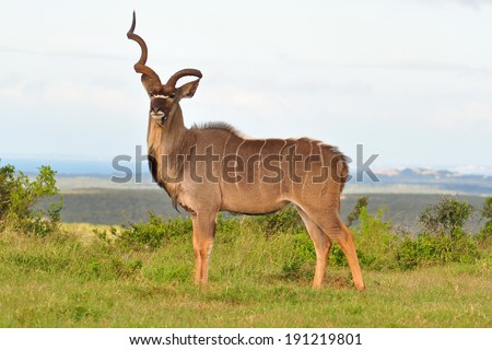 Kudu Bull with one horn