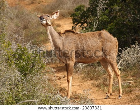 Kudu cow chewing a bone,know as Osteophage. - stock photo