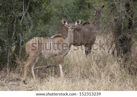 Kudu in the Kruger National Park
