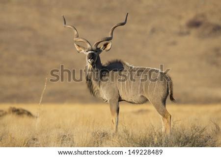 Kudu male, Namib-Naukluft, Namibia - stock photo
