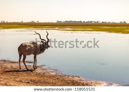 Kudu (Tragelaphus strepsiceros) at river in Chobe National Park - stock photo