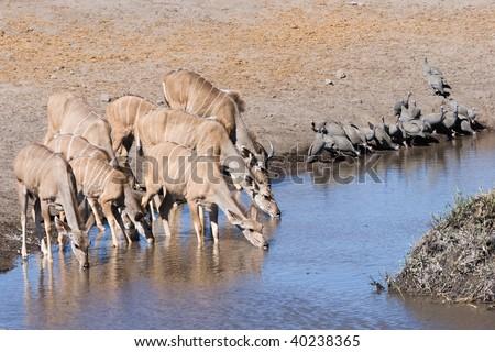 kudus and guinea fowls sharing the waterhole - stock photo