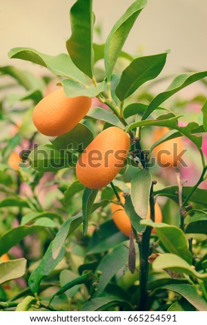 kumquat fruits leaves on branches stock photo royalty free
