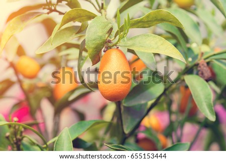 kumquat fruits leaves on branches sun stock photo royalty free