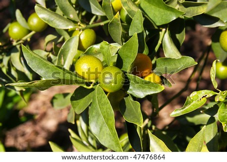 Kumquat tree with fruit and leaves - stock photo