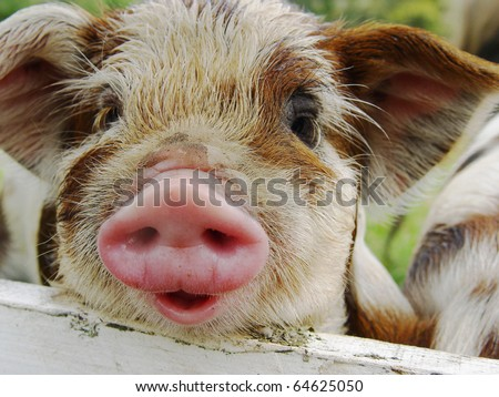 Kunekune piglet. Kunekune is a small breed of domestic pig from New Zealand - stock photo
