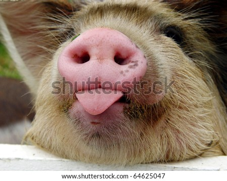 Kunekune piglet with his tongue out. Kunekune is a small breed of domestic pig from New Zealand - stock photo