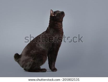 Kuril bobtail cat on a gray background - stock photo