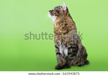 Kuril Bobtail Cat on an isolated background - stock photo