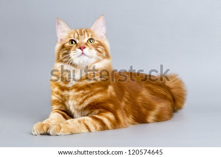 Kuril Bobtail Cat red color. - stock photo