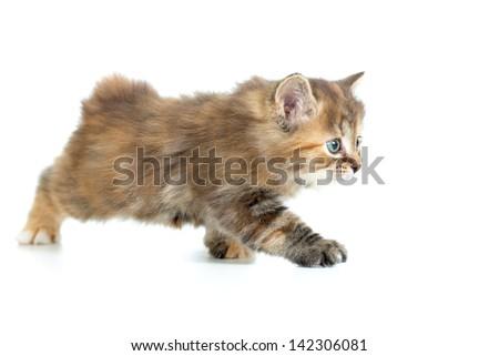 Kuril bobtail cat stealing - stock photo