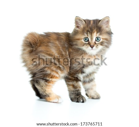 Kuril bobtail kitten looking to camera isolated