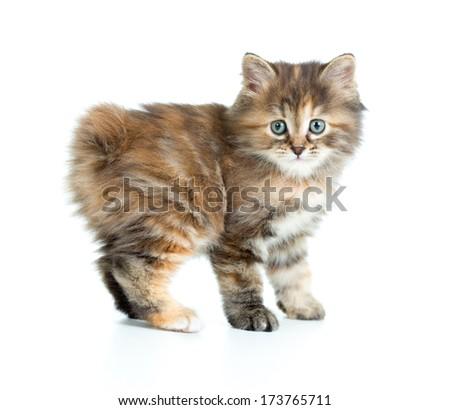 Kuril bobtail kitten looking to camera isolated - stock photo