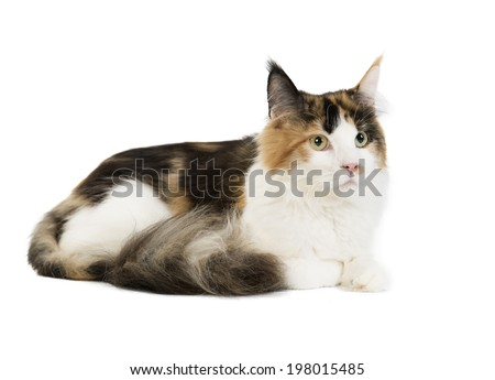 Kuril Bobtail on a white background in studio - stock photo
