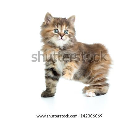 Kuril bobtail tortoiseshell coat coloring kitten with one paw up - stock photo