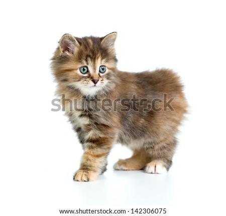 Kuril bobtail tortoiseshell coat kitten isolated on white - stock photo