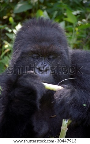 Kurira, the silverback of the SUSA group,Volcano National Park,  Rwanda - stock photo