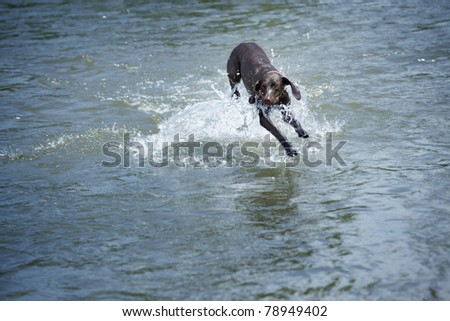 Kurzhaar dog playing and running in the water. Natural light and colors - stock photo