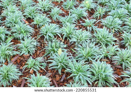 Ophiopogon Stock Images Royalty Free Images Amp Vectors
