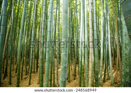 KYOTO, JAPAN -  MARCH 10, 2014: Winter Scene of Bamboo forest in Kyoto, Japan.