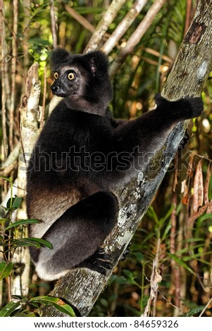 Lémurien Indri Indri. - stock photo