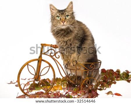 La Perm cat on mini bicycle, on white background - stock photo
