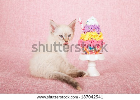 La Perm kitten with cupcake on white cupcake stand on pink background