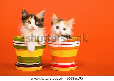 La Perm kittens sitting in colorful pots - stock photo
