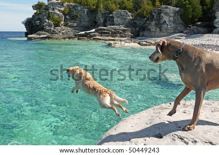Lab jumping into cold clear water - stock photo