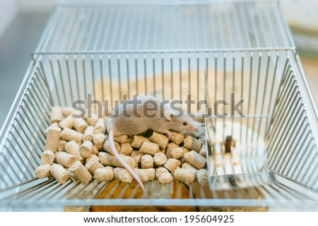 Lab mouse on top of home cage during experiment - stock photo