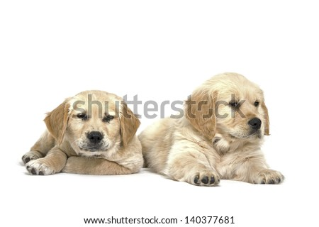 Lab puppies on white