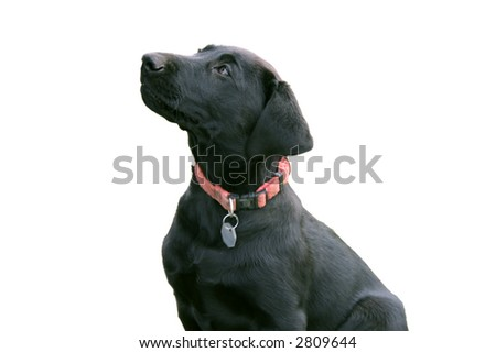 lab puppy isolated - stock photo