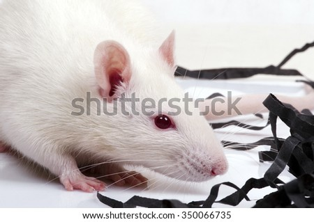 lab rat, closeup - stock photo