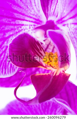 Labellum of a purple white Phalaenopsis orchid extreme close up - stock photo