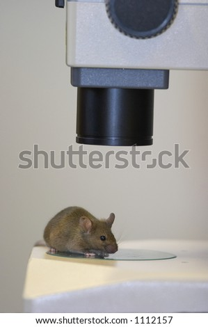 Laboratory mouse under the microscope close-up - stock photo