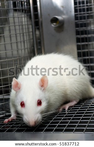 laboratory rat looking scared trapped in a cage - stock photo
